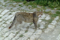 Cat in Berat
