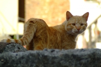 Cat in Berat city, Albania