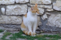 Cat in Berat Castle