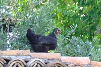 Chicken in Berat Castle