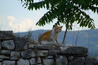 Cat in Berat castle, Albania