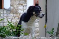 Dog in Berat city, Albania