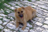 Dog in Berat city