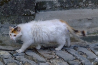 Cat in Gjirokaster