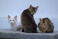 Cats in Gjirokaster