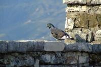 Pigeon in Gjirokastër Castle