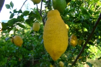 Lemon on tree, Albania