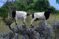 Goats, Albania