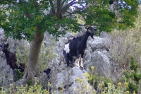 Goats on the rocks, Albania