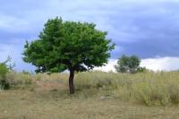 Tree. Albania