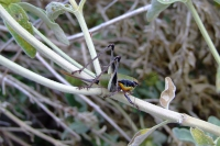 Locust near Ksamil, Albania