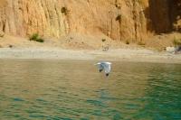 Seagull, Albania