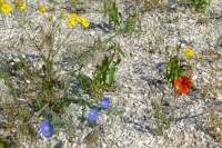 Flowers on Tendra Spit