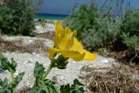 Flower on Tendra Spit